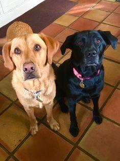 Dog Hotel, New Forest, Labrador Retriever, Dogs, Animals, Labrador Retrievers, Animales, Animaux, Pet Dogs