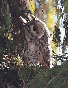 Long-eared Owl, Hungary