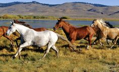 Wild horses running free in the fresh air of Australia.  Picture by: Sydney Drucker