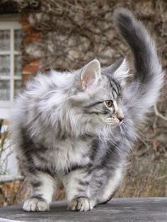 See more Norwegian Forest Cat Size,Weight and Life Expectancy