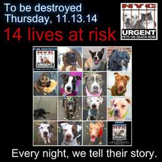 TO BE DESTROYED: 14 Dogs to be euthanized by NYC ACC- THURS. 11/13/14. This is a HIGH KILL shelter group. YOU may be the only hope for these pups! ****PLEASE SHARE EVERYWHERE!!!TTo rescue a Death Row Dog, Please read this: http://urgentpetsondeathrow.org/must-read/ To view the full album, please click here: https://www.facebook.com/media/set/?set=a.611290788883804.1073741851.152876678058553&type=3