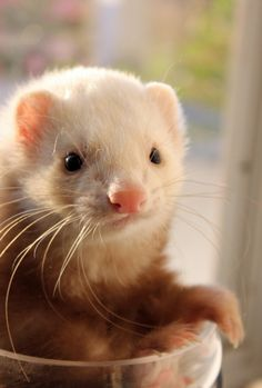 Ferret; At first look, I thought it was a hamster.