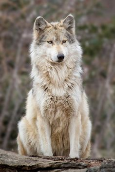 """* * WOLF: """" I've learned dat pleasin' everyone iz impossible.But pissin' everyone off iz easys and fun ! """""""