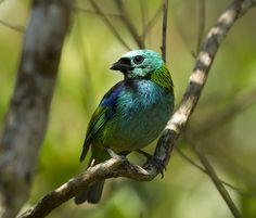 https://flic.kr/p/CeomN4 | Brazil. | Brazil. Green headed tanager in the Atlantic rainforest.