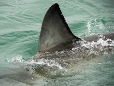 shark attack pictures on humans | An apparent increase in shark attacks may well have a human cause ...