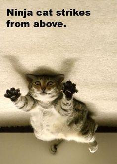 Ninja cat and other hilarious ninja jokes!!!
