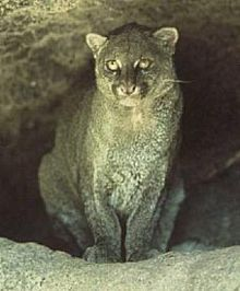 The jaguarundi or eyra cat (Puma yagouaroundi), is a small wild cat native to Central and South America.