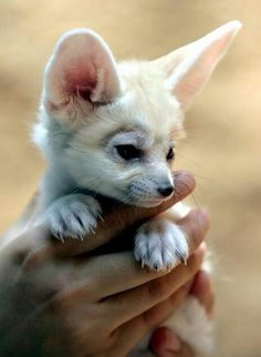 ~ baby Fennic Fox  ♡  Looks sooo soft!  #cutenessoverload