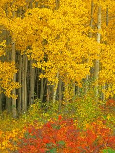 Quaking Aspen and Sumac, Routt National Forest, Colorado, USA Photographic Print by Rob Tilley at AllPosters.com