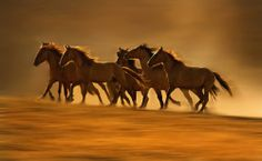 Wild Horses Running - LisaDearingPhotography