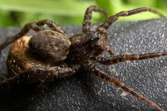 Female wolf spider with egg sac Common Spiders, Types Of Spiders, Scary Bugs, Cool Bugs, Killing Spiders, Spider Traps, Hobo Spider, Spider Identification, Poisonous Animals