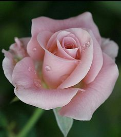 Aroma a Rosa Beautiful Rose Flowers, Exotic Flowers, Amazing Flowers, Beautiful Flowers, Rose Pictures, Rose Photos, Flower Photos, Purple Roses, Pink Flowers