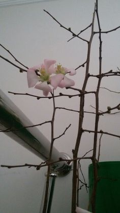 Flower without leaf.