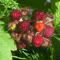 Japanese wineberries ripen from green, via orange to red in clusters