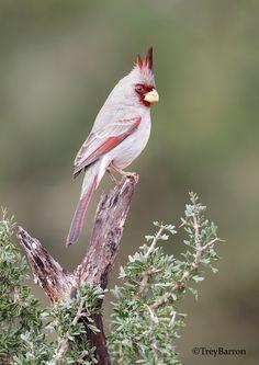 Pyrrhuloxia aka Desert Cardinal  by Trey Barron*
