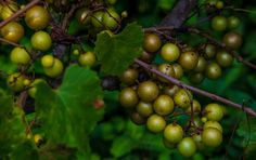 This old-time muscadine or scuppernong jelly recipe makes about 3 to 4 pints…