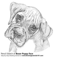Boxer Puppy Face Pencil Drawing - How to Sketch Boxer Puppy Face using Pencils : DrawingTutorials101.com Pencil Sketches Of Faces, Face Pencil Drawing, Pencil Drawings Of Flowers, Animal Sketches, Cool Sketches, Animal Drawings, Sketches Of Dogs, Dog Drawings, Drawing Step