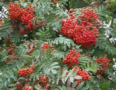 "Sorbus ""Coral Fire"" Mountain Ash"