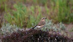 #guidofrilli - Nikon D300 + Tamron 150/600 - f5/6.3 - 1/2500 sec. f/6.3 ISO-400 600mm a 20m. - photo Guido Frilli - Sinis Desert Stagno di Mistras - culbianco (Oenanthe oenanthe (Linnaeus, 1758)) è un uccello passeriforme della famiglia dei Muscicapidi.