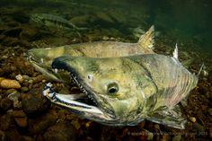 2015 Salmon Top Ten - Eiko Jones Photography and Video Chum Salmon, Fish, Photography, Science, River, Photograph, Pisces, Fotografie, Photoshoot