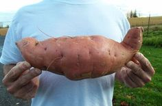 Sweet potatoes are rarely grown by gardeners in the northern latitudes. Fact is, I've been gardening for nigh unto forty years and it was only three years ago that the idea of growing sweet potatoes here in Central New York State seriously entered my mind.