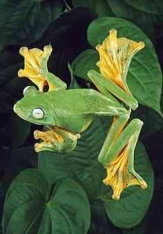 Java Flying Frog, Showing Webbed Feet, Malaysia