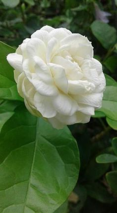Beautiful Rose Flowers, Colorful Flowers, White Flowers, Beautiful Flowers, Blossom Garden, Blossom Flower, Rose Flower Pictures, Flower Games, Paradise Garden