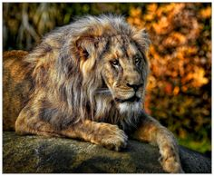 Lion; Sunset by Klaus Wiese on 500px