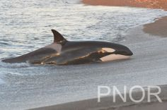 Maga's group showed up in Punta Norte during the last few days, with one successful stranding in the Attack Channel. After several days in the area, Llen, its calf, Pao and Golouen abandoned the area. Pao carefully stranded with some success. foto: Jorge Cazenave 14/4/2014 Punta Norte Orca Research