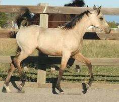 "Palomino, buckskin, perlino, cremello performance Arabian and quarter horses for sale, Arabian racing propects Khatrina N Command - aka ""Trina"""