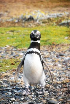 A penguin at Punta Arenas - Chile  Seeing these guys do their thing - so cute! But vicious got nipped on the leg by one :)