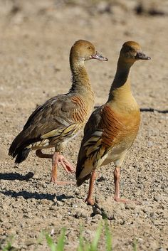 Plumed Whistling-Duck (Dendrocygna eytoni) | by Arturo Nahum