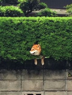 Shiba Inu Gets Stuck In Bush, Pretends Everything Is OK | Bored Panda