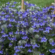 Perennials That Attract Hummingbirds to Your Garden! Stand By Me Perennials That Attract Hummingbirds to Your Garden! Stand By Me Clematis Blue Bell Flowers, Cut Flowers, Purple Flowers, Flowers Bunch, White Flowers, Flowers Perennials, Planting Flowers, Flower Gardening, Organic Gardening