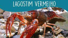 5 coisas que você precisa saber sobre o LAGOSTIM VERMELHO  - Minha Fauna - YouTube