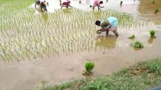 Rice crops [Paddy] planting in the field by hand by Women Rice Crop, Agriculture, Planting, Fields, Hands, Women, Plants, Woman