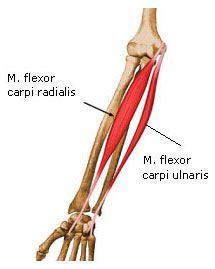 SW Sportmassage © - Anatomie - M. Flexor carpi radialis & M. Flexor carpi ulnaris