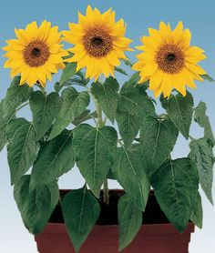 Elf dwarf sunflower (Helianthus annus) This variety grows up to 16 inches. We are planting 10 varieties of dwarf sunflowers as a temporary filler for the flower bed, as we can't plant bulbs until October or November in our hot desert climate.