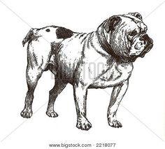 Illustration Of English Bulldog