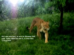 Very Rare Photo of My mom Lion Svettlana as is in her Lioness form, in Sioux Fall's South Dakota's Sherman Park! Yeah I talked her into going out.