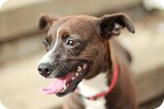 Morganville, NJ - Terrier (Unknown Type, Medium)/Chihuahua Mix. Meet Colleen, a dog for adoption. http://www.adoptapet.com/pet/11312662-morganville-new-jersey-terrier-unknown-type-medium-mix