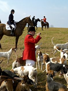 Hounds are still missing. Huntsman Sam Clifton blows his horn to signal where he is and to gather them in.