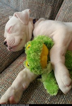 Sweet white Boxer puppy asleep with her froggy! Shhhhh….. don't wake her :)