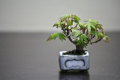 Bonsai Maple http://ameblo.jp/chocolatebon/entry-11508652136.html チョコレート盆々-飾り棚で遊ぶ http://translate.google.com.pr/translate?hl=es-419&sl=ja&tl=en&u=http%3A%2F%2Fameblo.jp%2Fchocolatebon%2Fentry-11508652136.html&sandbox=1