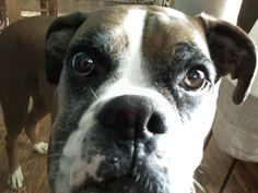 Buster Boxer. best dog ever.