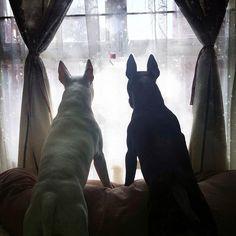 #BullTerrier #BullTerriers #BullTerrierLove #ILoveMyBullTerrier #EBT #EnglishBullTerrier #EnglishBullTerriers #LandShark