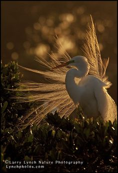 Great Egret in Breeding Plumes at Sunset by Larry727 on Etsy, $50.00