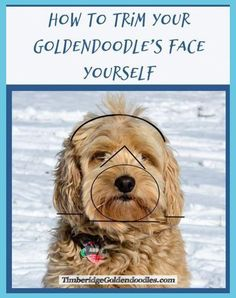 See more ideas about Dog grooming, Dog grooming pets and suggestions. How to keep your house tidy when you have a canine - tips on cleaning animal. Goldendoodle Haircuts, Goldendoodle Grooming, Mini Goldendoodle Puppies, Dog Haircuts, Dog Grooming Tips, Poodle Grooming, Yorkie, Goldendoodles, Labradoodles