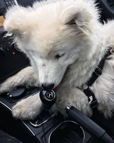 """Did you know your gearshift can double as a chew toy?!"" Photo by Twitter user @the_bluefairie."