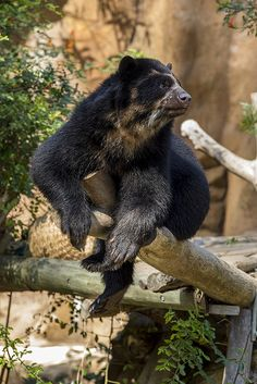 Turbo, a young male Andean bear (Tremarctos ornatus) at the San Diego Zoo, enjoys the autumn sunshine. Andean (or spectacled) bears are the closest living relative of the giant panda.